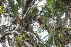 Bird Rufous-bellied Trush Royalty Free Stock Images