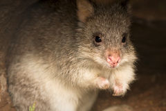 Rufous Bettong. Rufous Rat kangaroo (also Rufous Bettong), Aepyprymnus rufescens, Australia Royalty Free Stock Images