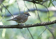 Rufous breasted accentor. On perch Stock Image