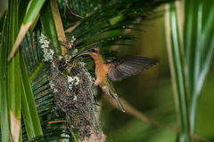 Rufous-breasted Hermit. Feeding chicks, Venezuela stock photos