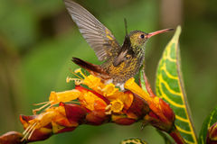 Rufous-breasted Hermit. Gorging and displaying on flowers, Ecuador Stock Image