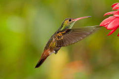 Rufous-breasted Hermit. Hovering in front of flowers, Ecuador Royalty Free Stock Image