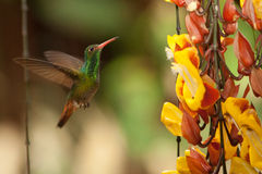 Rufous-breasted Hermit. Hovering in front of flowers, Ecuador Royalty Free Stock Images