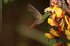 Rufous-breasted Hermit. Hovering in front of flowers, sipping, Ecuador Royalty Free Stock Image