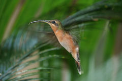 Rufous-breasted Hermit. Hovering in front of nest, Venezuela Stock Photography