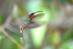 Rufous-breasted hermit, hummingbird in Peru Stock Photo