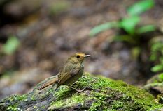 Rufous-browed Flycatcher Stock Images