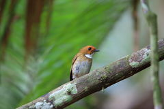Rufous-browed flycatcher. Anthipes solitaris in Sumatra, Indonesia Royalty Free Stock Photos