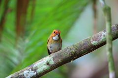 Rufous-browed flycatcher. Anthipes solitaris in Sumatra, Indonesia Stock Photos
