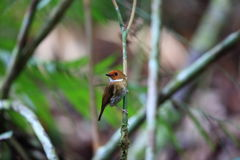 Rufous-browed flycatcher. Anthipes solitaris in Sumatra, Indonesia Stock Photography
