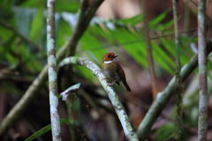 Rufous-browed flycatcher. Anthipes solitaris in Sumatra, Indonesia Royalty Free Stock Images