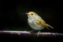 Rufous-browed Flycatcher (Ficedula solitaries ) Royalty Free Stock Photography