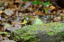 Rufous-browed flycatcher(Ficedula solitaris) Royalty Free Stock Image