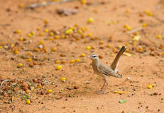 Rufous Bush Chat on the ground Royalty Free Stock Photography