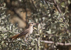 Rufous Bush Robin (Cercotrichas galactotes). A rufous bush robin is eating an ant Stock Image