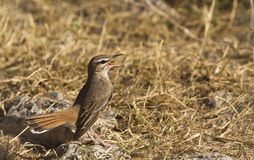 Rufous Bush Robin (Cercotrichas galactotes) Royalty Free Stock Images