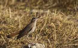 Rufous Bush Robin (Cercotrichas galactotes) Stock Images