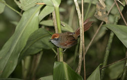 Rufous-capped spinetail, Synallaxis ruficapilla Royalty Free Stock Photo