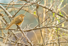 A Rufous Chatterer Stock Image