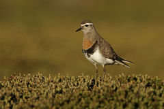 Rufous-chested dotterel, Charadrius modestus Stock Photo