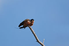 Rufous-chested swallow Royalty Free Stock Images