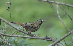 Rufous-chinned Laughingthrush seen at Sattal stock photography