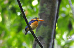 Rufous-collared Kingfisher Actenoides concretus Stock Photos