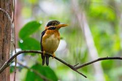Rufous-collared Kingfisher Royalty Free Stock Photo