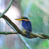 Rufous-collared Kingfisher Stock Images