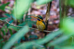 Rufous-collared Kingfisher (female) Stock Photos