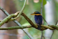 Rufous-collared Kingfisher Stock Image