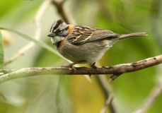 Rufous-collared Sparrow Stock Photography