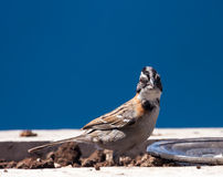 Rufous Collared Sparrow Stock Photos