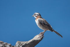 Rufous Collared Sparrow Royalty Free Stock Image