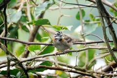 Rufous-collared sparrow in a bougainvillea bush stock photos