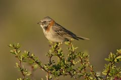 Rufous-collared Sparrow on a Branch Stock Photography