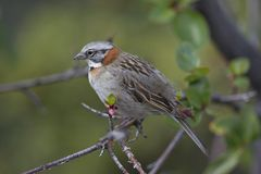 Rufous-collared Sparrow on a Branch Royalty Free Stock Image