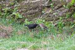 The rufous collared sparrow feeding the shiny cowbird. On the ground Royalty Free Stock Photography