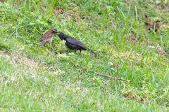 The rufous collared sparrow feeding the shiny cowbird. On the ground Royalty Free Stock Images