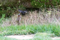 The rufous collared sparrow feeding the shiny cowbird. On the ground Stock Photo