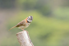 Rufous-collared Sparrow Male Royalty Free Stock Photo