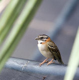 Rufous-collared sparrow on the orchard grid Royalty Free Stock Images