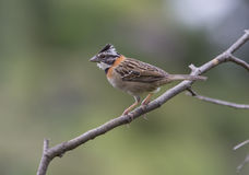 Rufous-collared Sparrow Royalty Free Stock Image