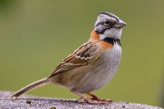 Rufous Collared Sparrow stock images