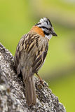 Rufous-collared Sparrow  -  Peru Royalty Free Stock Photography