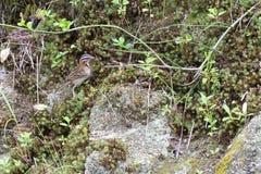 Rufous collared sparrow posing on a  branch. Rufous collared sparrow posing on a top tree branch Royalty Free Stock Photos