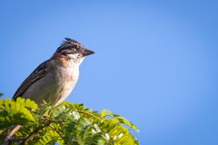 Rufous collared sparrow posing on a  branch. Rufous collared sparrow posing on a top tree branch Stock Images
