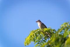 Rufous collared sparrow posing on a  branch. Rufous collared sparrow posing on a top tree branch Stock Photo