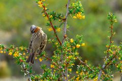 Rufous-collared sparrow sitting on a branch stock photo