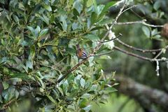 Rufous-collared sparrow sitting on a bush branch in natural environment stock image